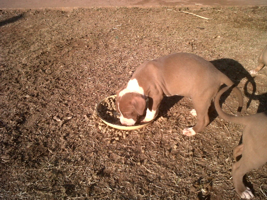 Spike-Carver Pitbull Puppies