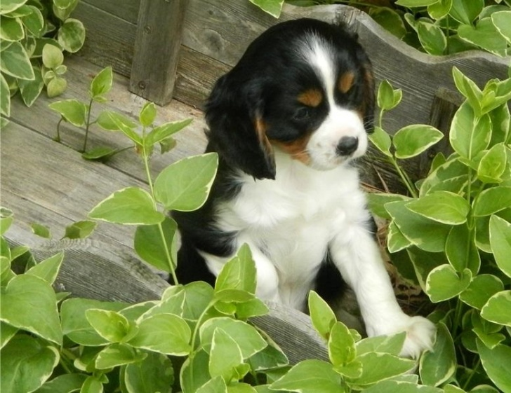 Cavalier King Charles spaniels for caring home