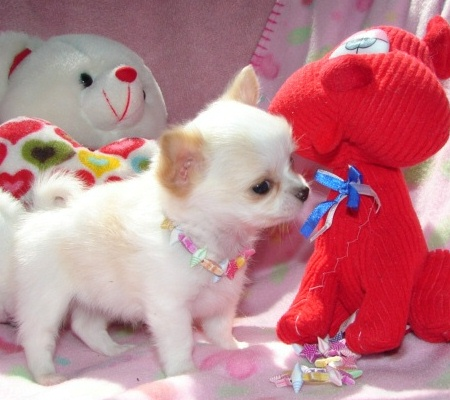 Miniature chihuahua puppies for sale.