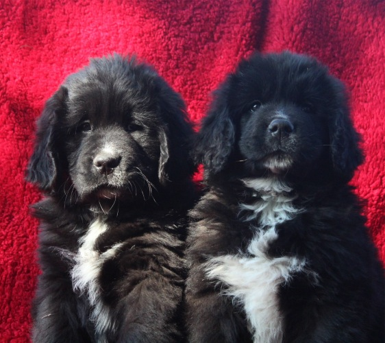 Newfie Puppies Available
