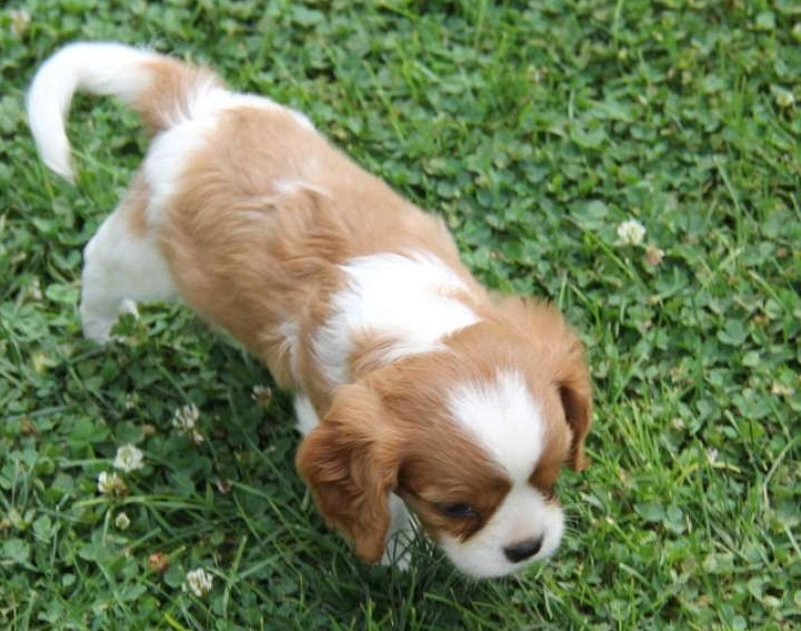 Well trained cavalier spaniel puppies awaiting a Caring and loving Home now