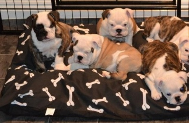 Awesome Males And Females English Bulldog Puppies For Sale