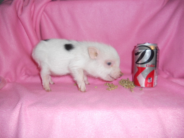 Micro Julianas babies pigs for sale.