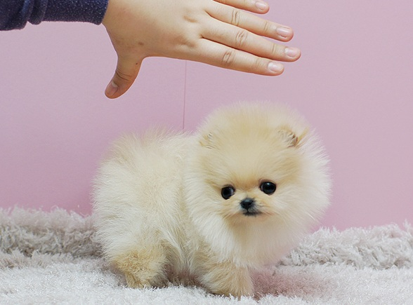 Micro Teacup Pomeranian puppies for sale.