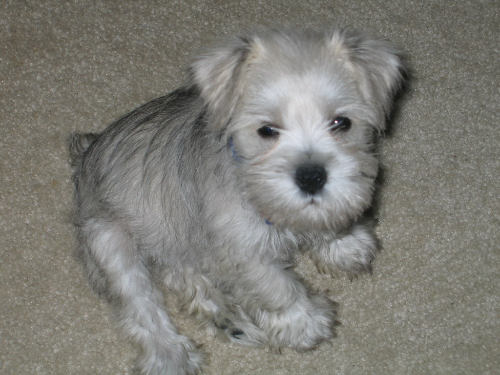 Registered Schnauzer puppies for loving home