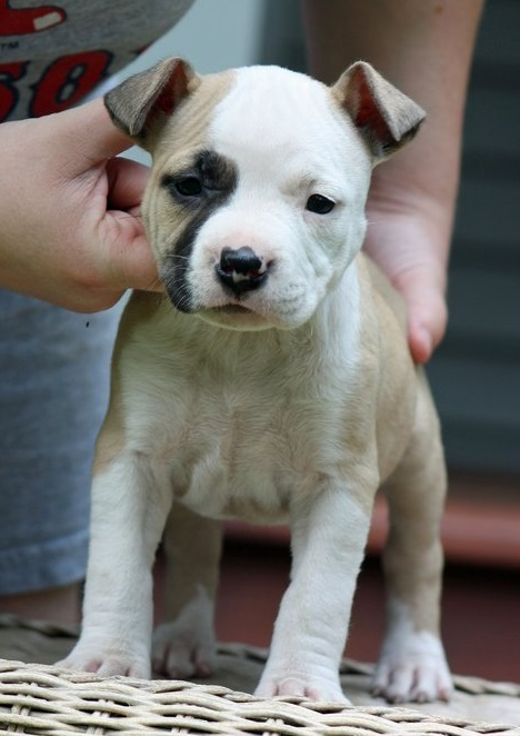 American Staffordshire Terrier puppies for sale.
