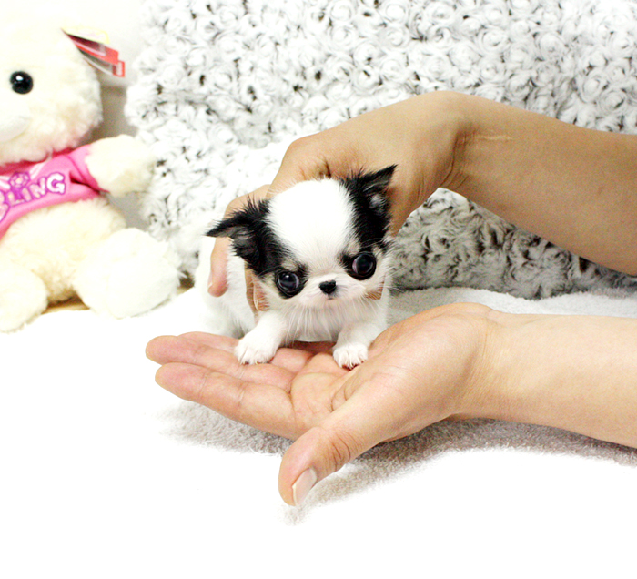 Tea-cup chihuahua puppies