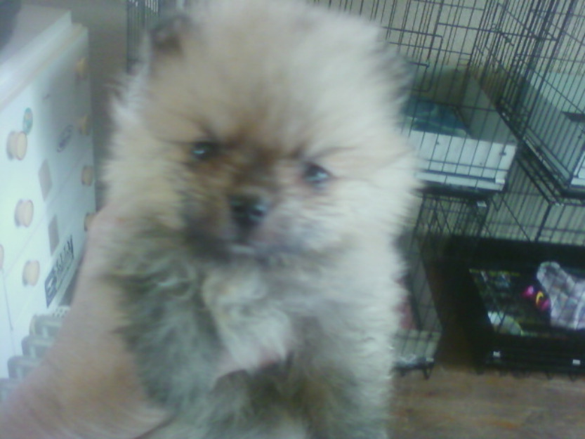 Miniature toy pom puppies (miniature) for sale .