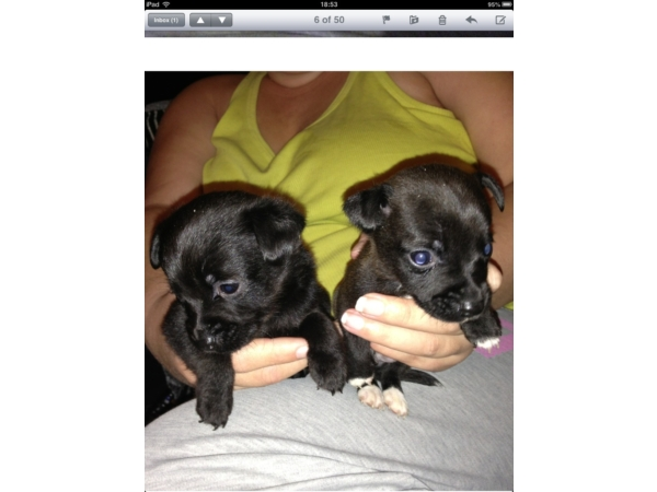 Patterdale puppy's for sale