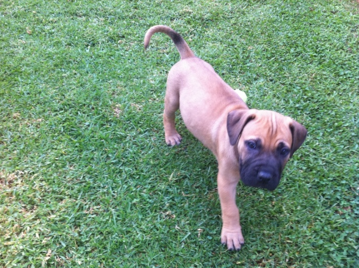 Cute and Adorable Boerboel Puppies for sale