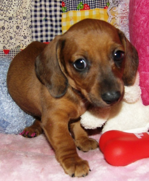 Classic Dachshund Puppies for Sale