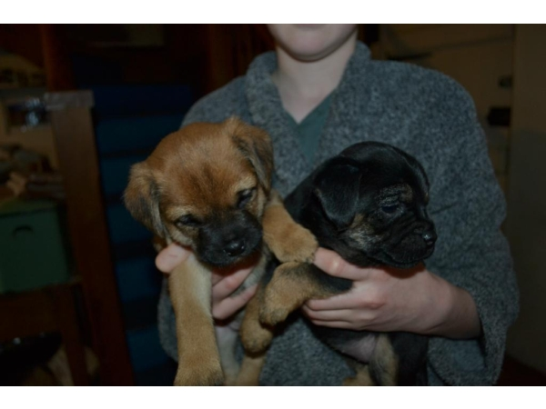 border terrier X puppies for sale