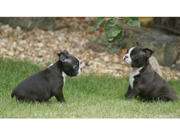Two Boston Terrier dog girls