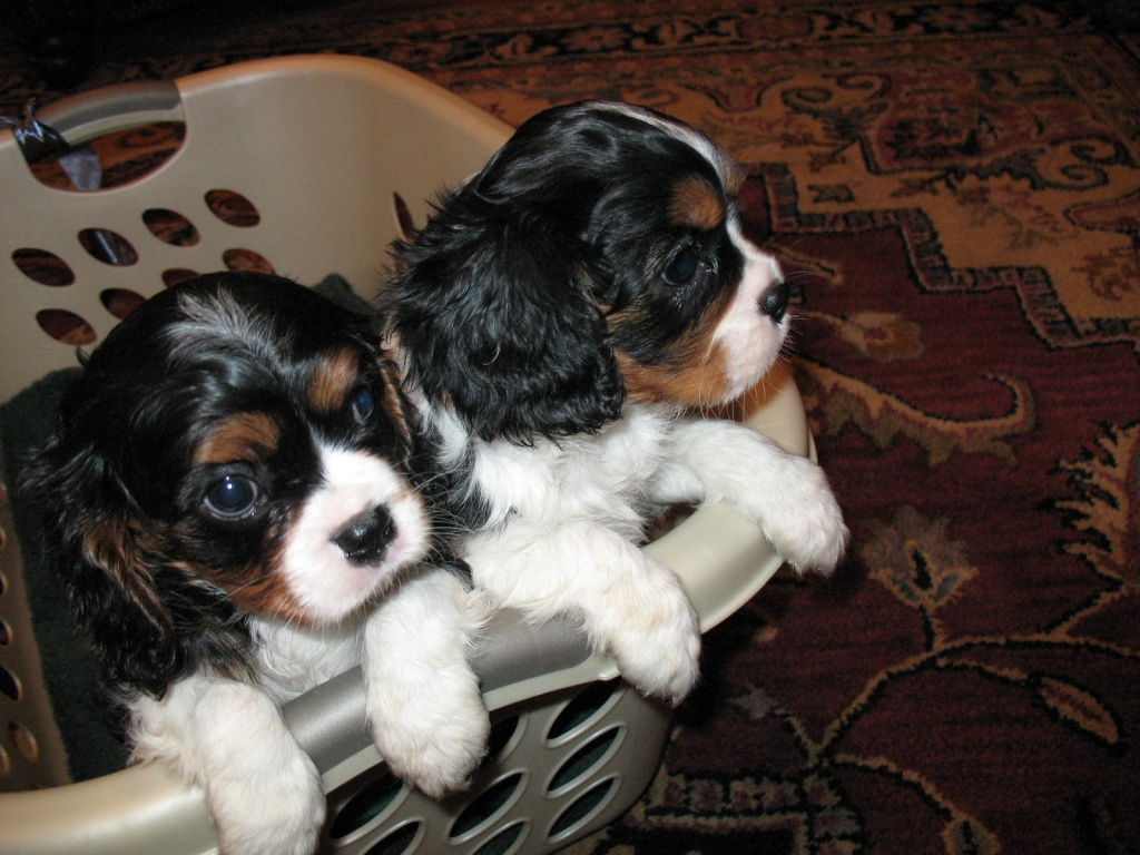 Quality Cavalier King Charles Spaniel puppies for sale !!