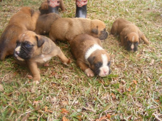 CUTE BOXER PUPPIES FOR A CARING FAMILY.