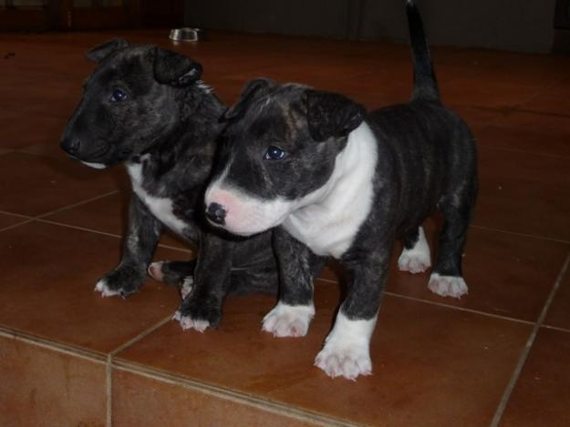 Adorable Bull Terrier Puppies Ready for New Homes