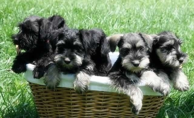 Beautiful Snauzer Puppies For Sale