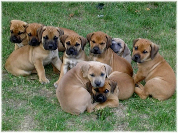 Pure Bred Boerboel Puppies For Sale