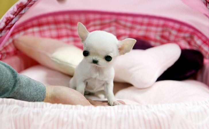 Tiny Teacup Chihuahua Puppies For Sale