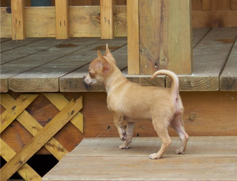 Chihuahua puppies for new home
