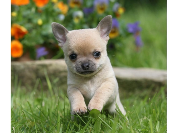 Two gorgeous fawn Chihuahua male pups for sale