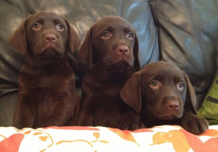 Adorable chocolate labrador puppies for sale