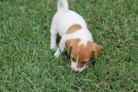 Good natured Jack Russel puppies now available