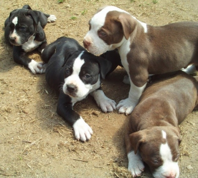 Registered Blue Pitbull Puppies Available