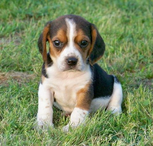 Miniature Beagle Puppies for sale