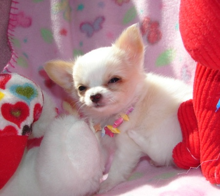 Chihuahua Puppies For Loving Homes