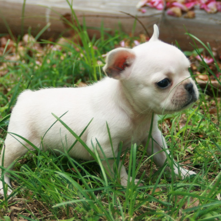 Outstanding French Bulldog Puppies-8weeks old