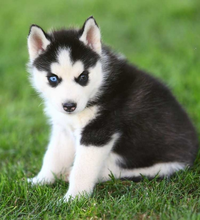 Adorable Purebreed Siberian Huskies For Sale