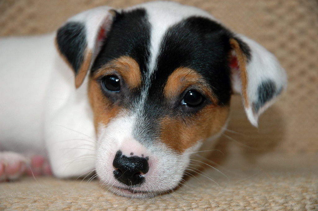 Jack Russel puppies Available