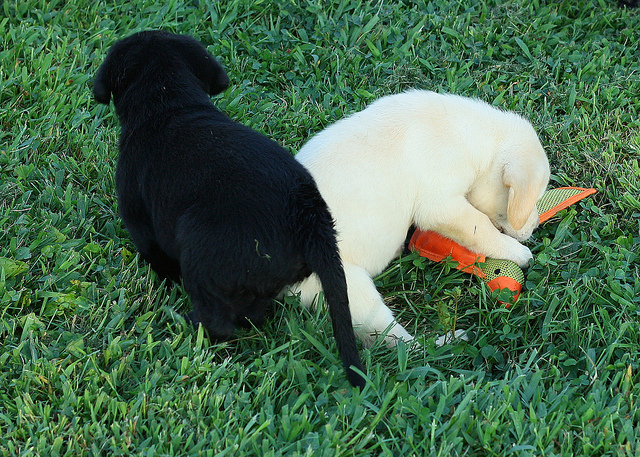 AMAZING BLACK AND BROWN LABRADOR PUPPIES FOR SALE