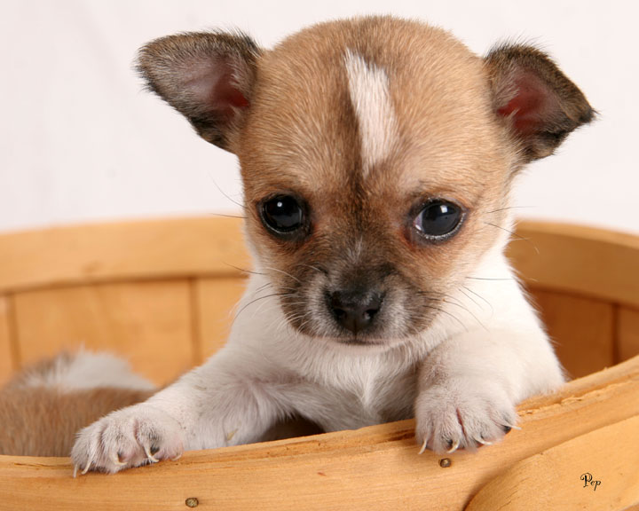 Cute and Healthy Chihuahua Puppies for sale