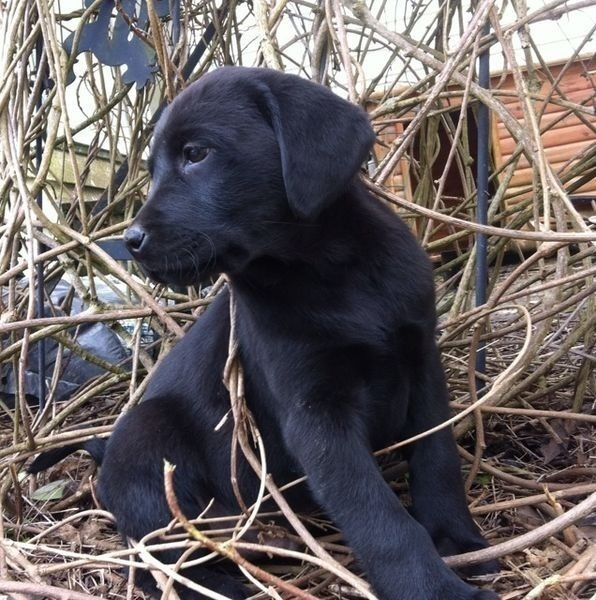 Purebred Chocolates and Black Labrador puppies(smaller stocky)