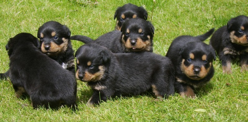 ROTTWEILER PUPPIES FOR SALE(6 males, 4 females)