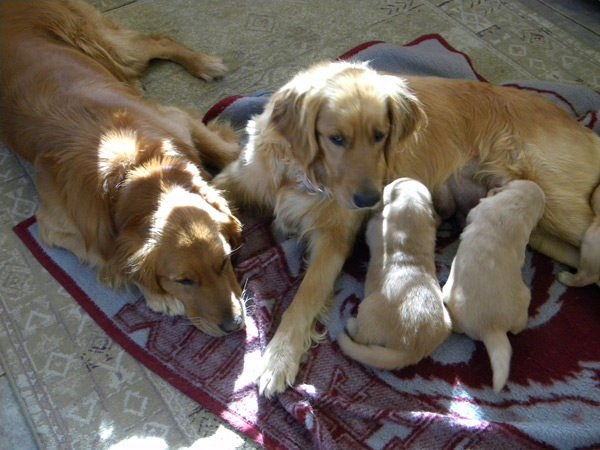 Top Quality Golden Retriever puppies for sale !!