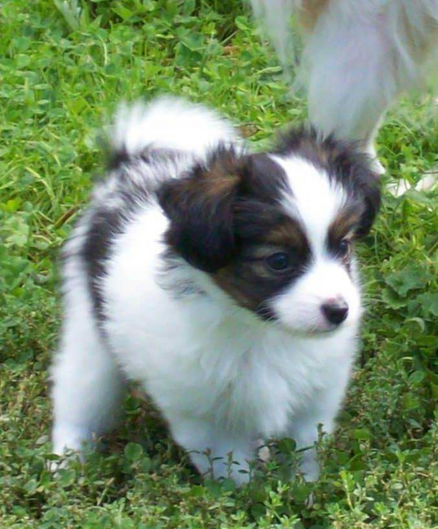 Purebred Papillon Puppies Available for Sale