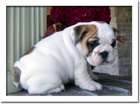 Gorgeous English Bulldog Puppy For Sale