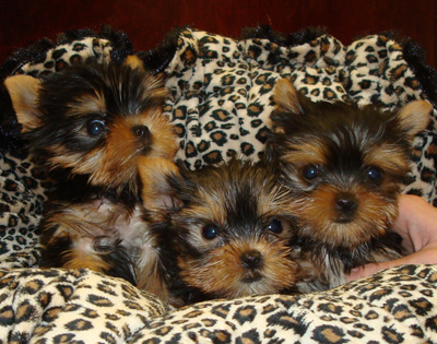 Doll Face Teacup Yorkie Puppies For Sale