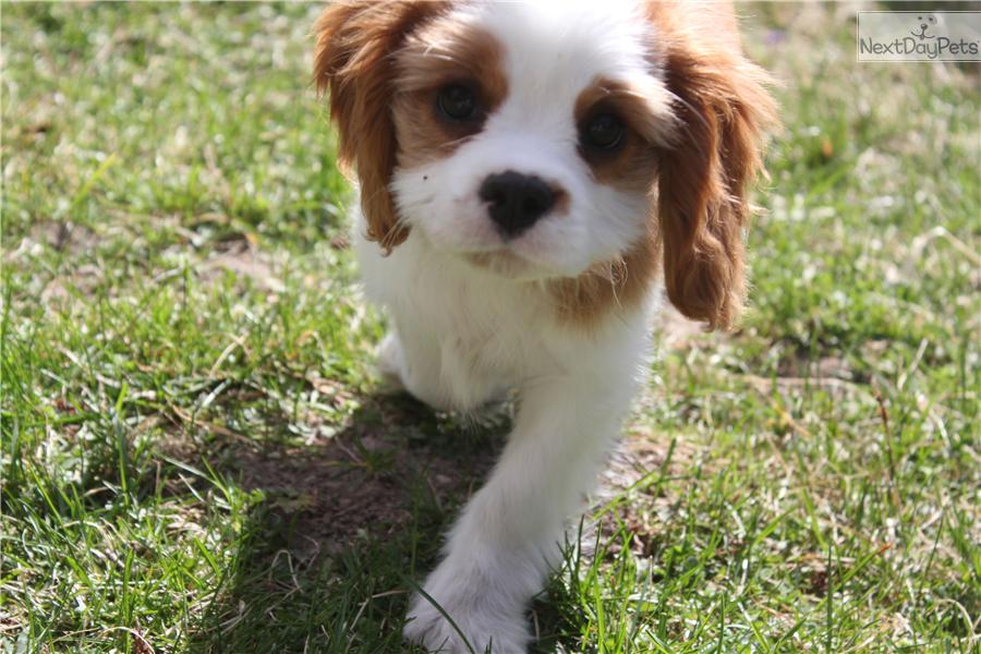 Male And Female Cavalier King Charles Spaniel Puppies