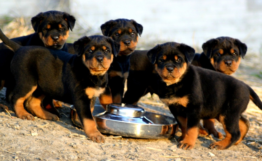 Absolutely Gorgeous Rottweiler Puppies