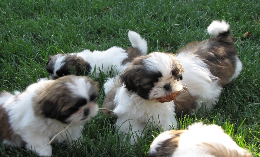 Shih-Tzu puppies availalbe For Sale