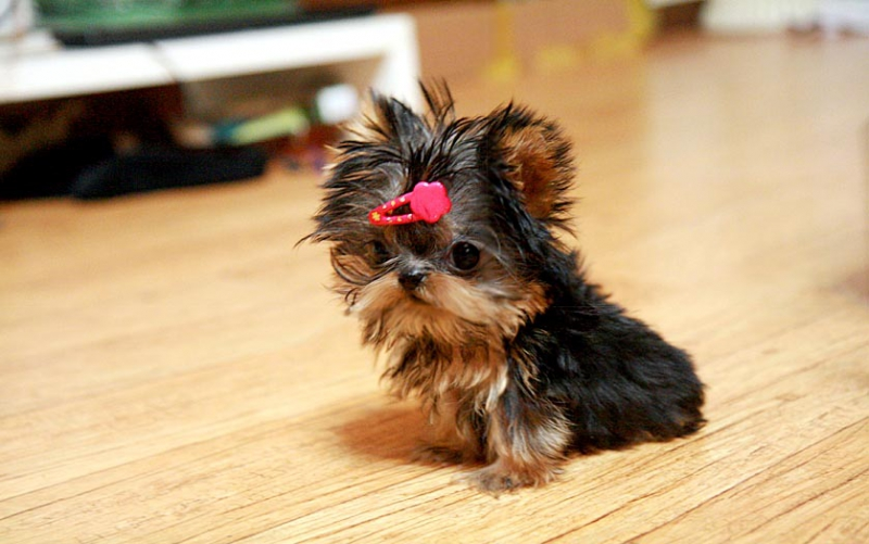 Beautiful Teacup Yorkie Puppies For Sale