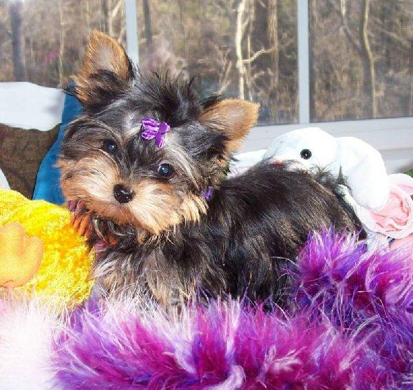 Adorable  Teacup Yorkie Puppies for Re-homing