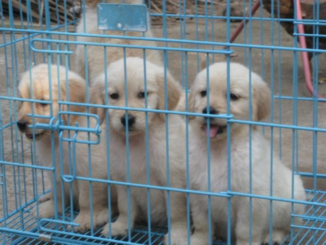 Cute and Registered Golden Retriever Puppies For sale